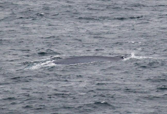Blue_Whale3(24-08-15)