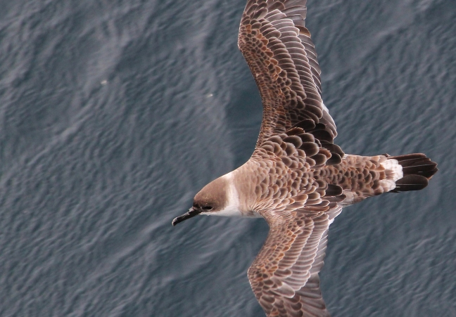 Up to 270 Great Shearwaters have regularly been seen aggregating around the ship in the daytime, and hunting fish attracted to the ship's lights at night.