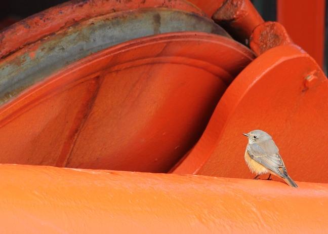 Redstart(18-08-15)
