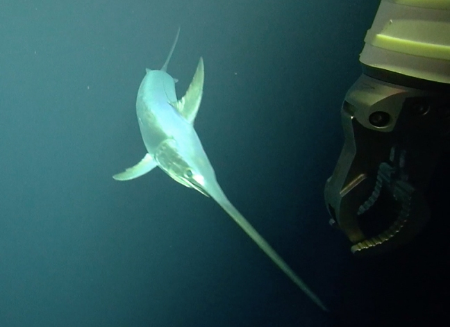 This image of a Broad-billed Swordfish was taken from video obtained using ROV Isis. The robotic arm of the vehicle is visible in the right of the image.
